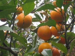 オレンジ花エキス