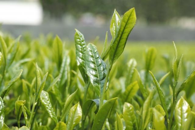 [フェノキシエタノール]オーガニック化粧品に使用されている、お茶に含まれる天然防腐剤成分