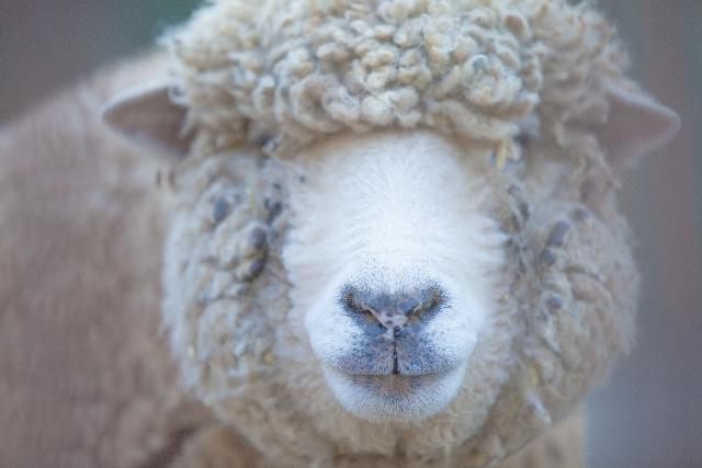 [PPG-12-PEG-50ラノリン]羊の皮脂から出来た潤滑性のあるエモリエント成分