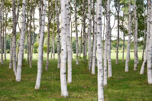 [ヨーロッパシラカバ樹皮エキス]樹皮から抽出した保湿成分
