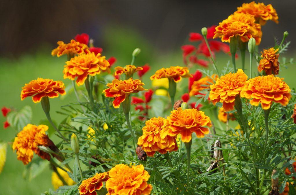 [トウキンセンカ花エキス]聖母マリア様に捧げられた幸せの花は肌改善成分だった。