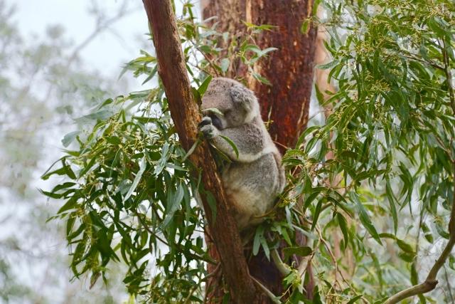 [ユーカリ油]コアラの好物は、虫除け、消臭などに良い成分だった。