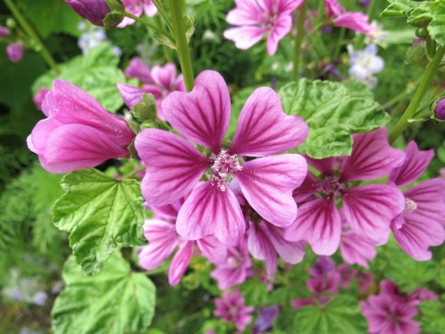 [ゼニアオイエキス]ヨーロッパから来た帰化植物は、抗酸化作用のある肌によい成分です。