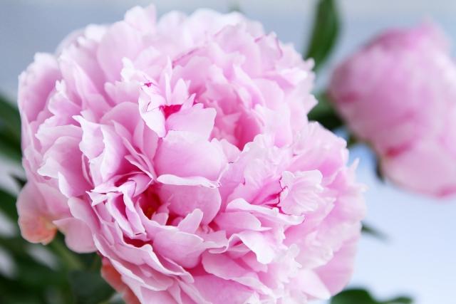 [シャクヤク根エキス]「立てば芍薬・」美しい花には、育毛効果もあった。