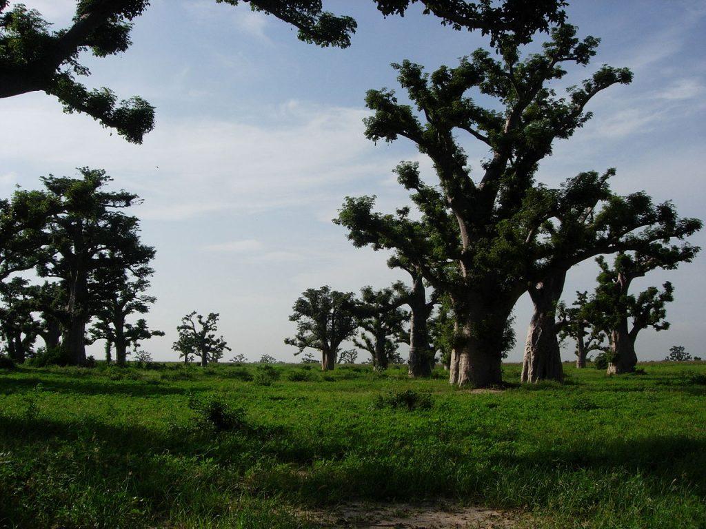 [バオバブ種子油]生命の木の種子油は、保湿、ヘアコンディションとなる成分