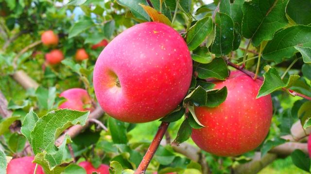 [リンゴ果実エキス]リンゴの果実から抽出した保湿成分