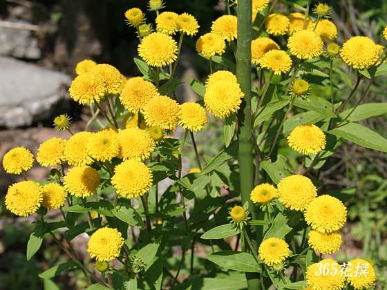 [イヌラクリスモイデエキス]あぜ道に生えている黄色花のイヌラにはヘアコンディショニング効果があった