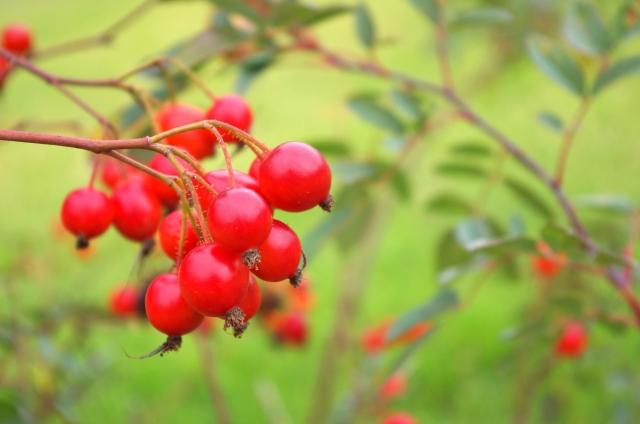 [ローズヒップ油]バラの種から抽出した抗炎症成分