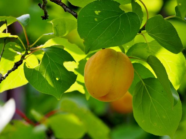 [アンズ核油]アンズの種子から抽出されたオレイン酸たっぷりの皮膚コンディショニング成分