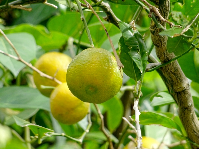 [シイクワシャー果実エキス]沖縄原産の柑橘類は、美白成分