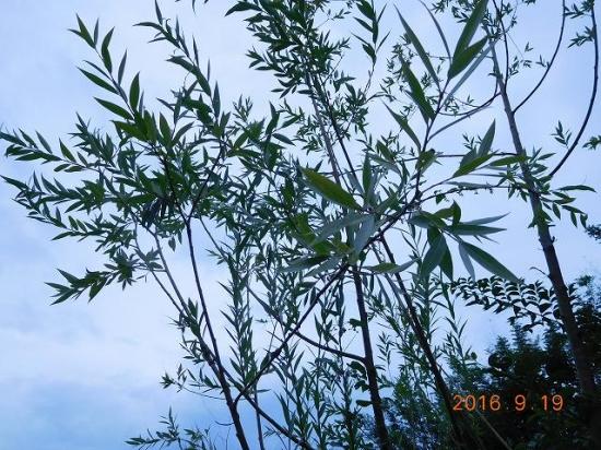 [セイヨウシロヤナギ樹皮エキス]主成分のサリシンによる肌荒れ改善成分