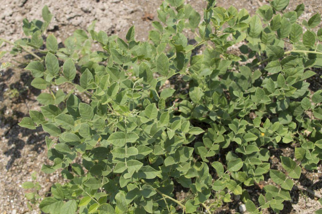 [カンゾウ葉エキス]甘草の葉から抽出した敏感肌には良いセラミド産生成分